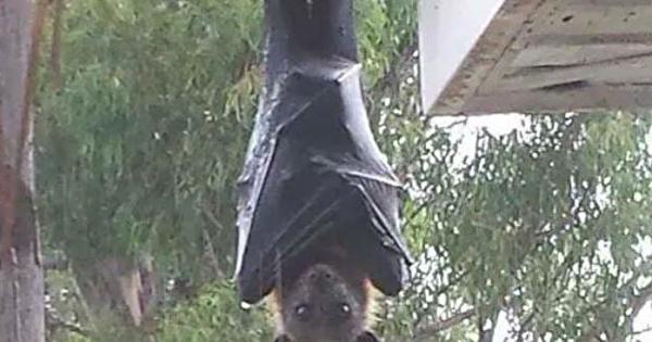 オオコウモリの画像 p1_36